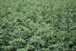 A field of green plants with small white blossoms, which are chickpea plants