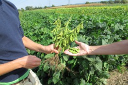 wo people's hands and arms in front of a field of green plants. One hand holds a plant with many edamame pods and roots. The other hand holds five edamame pods.