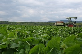 A tractor drives through a field of green edamame plants