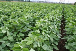 Edamame plant rows in the field