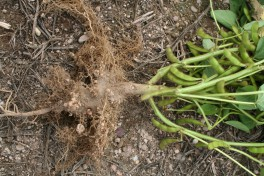 Edamame roots with large white root nodules due to the inoculation