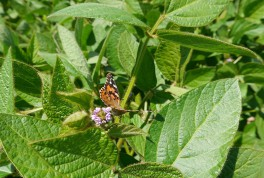 Painted Lady butterfly seated on an edamame plant