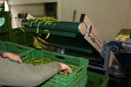 two arms in a selecting process of edamame beans on a conveyor belt.