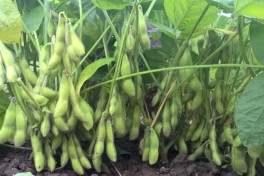 bundles of ripe edamame beans on the plant