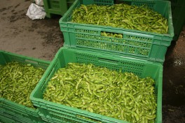 Edamame ready for the market in market boxes