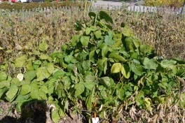 Edamame plants with little yield due to The short-day tendencies of this variety called