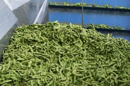 Fresh Edamame pods in a industrial processing machine