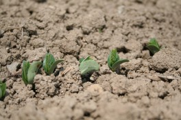 Edamame plants breaking ground in the field